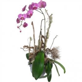 Orchidee edel - Blumen Bergmann