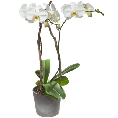 orchidee weiss blumen bergmann. Black Bedroom Furniture Sets. Home Design Ideas