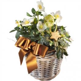 Christrose mit Korb - Blumen Bergmann