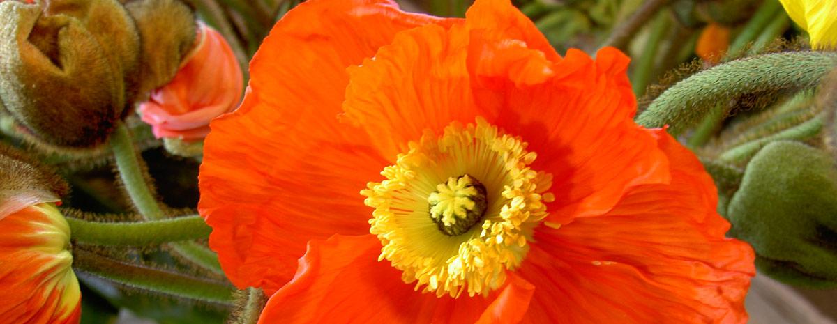 Mohnblume für Dienstleistungen - Blumen Bergmann Bolligen