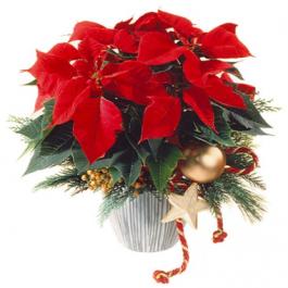 Weihnachtsstern - Blumen Bergmann